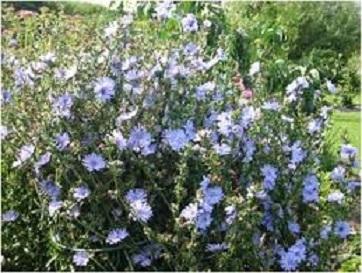 برداشت 2.5 تن گیاه دارویی کاسنی در اردل
