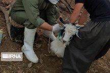 واکسیناسیون دامهای مناطق زلزلهزده آغاز شد