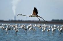 زمستان گذرانی 90 هزار پرنده در تالابهای بین المللی چهارمحال وبختیاری