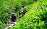 توصیه دولت به مردم درباره مصرف چای/اروپایی ها چای ایرانی می نوشند