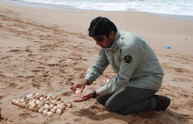 آغاز فصل تخمگذاری لاک پشت ها در سواحل چابهار
