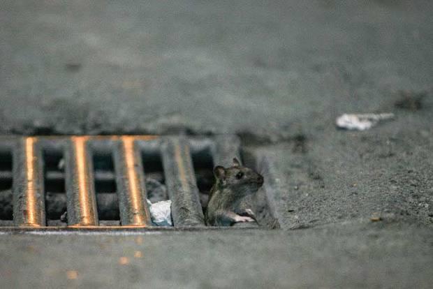 موش های تهران دیگر ترس ندارند! + تصاویر