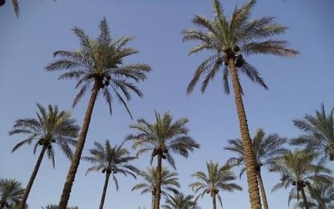 کمبود آب نخلهای دشتستان را تهدید می کند