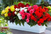 تولید سالانه 25 میلیون و 767 هزار  بوته انواع گل در خراسان رضوی