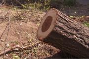 پیگرد قضایی عامل قطع درخت 30 ساله در زنجان