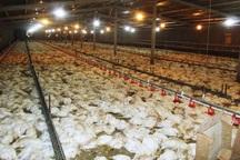 40 هزار قطعه مرغ در ابرکوه  تلف شد