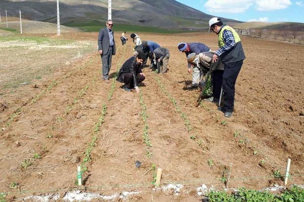 کلزا برای اولین بار به صورت نشائی در کردستان کشت شد