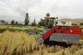 برداشت 3500 تن برنج از شالیزارهای کلات  بررسی مجوز کشت برنج با حضور کارشناسان وزارت جهاد کشاورزی