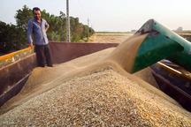 8100 تن محصول مازاد کشاورزان کردستان خریداری شد