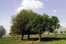 درختان کهنسال فارس در فهرست آثار ملی ثبت شدند