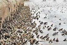 هجوم قورباغه ها به روستای گل سلیمان آباد میاندوآب