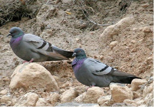 شکارچیان کبوتر وحشی در جاجرم 36 میلیون ریال جریمه شدند