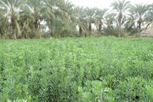 400 هکتار از زمین های کشاورزی نیکشهر به باقلا اختصاص یافت