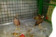 کشف سه بهله پرنده شکاری در تربت حیدریه