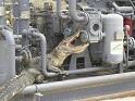 حمله تمساح به  تاسیسات عسلویه /تصاویر