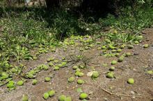 بارندگی بیش از 3میلیارد ریال به باغ های فاروج خسارت زد