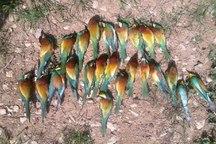 زنبورداران ایلامی موجب مرگ 700 پرنده زنبورخوار شدند