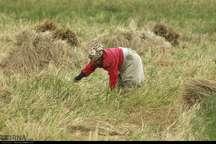 افزایش 20 درصدی تولید برنج در شهرستان سیاهکل