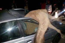 برخورد پژو با شتر در مسیر ایرانشهر بم یک کشته برجا گذاشت