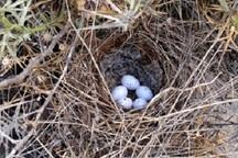 لانه گزینی 15 گونه پرنده مهاجر و بومی در تالاب های بروجن آغاز شد