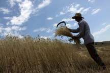 420 تن گندم مازاد بر مصرف کشاورزان سیستان و بلوچستان خریداری شد