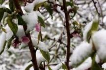 سرما به 77 درصد محصول باغات قزوین خسارت زد
