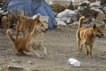 لزوم راهاندازی پناهگاه سگهای بلاصاحب در شهرهای استان البرز