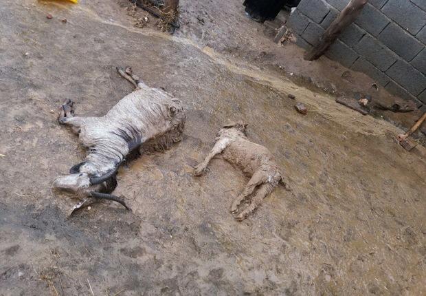 یکهزار راس دام شهرستان دلفان در اثر سیل تلف شد