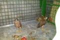 کشف پرندگان شکاری از منزلی در مشهد