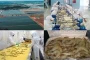 1500هکتار از زمین های جاسک به پرورش میگو اختصاص یافت