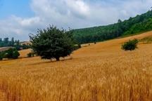 پیش بینی افزایش 70 درصدی تولید گندم در مازندران