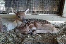 تولد ۳ بچه گوزن کمیاب زرد ایرانی در پارک وحش اراک