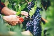 فائو یکماه آینده نتیجه ثبت جهانی انگور ملایر را اعلام می کند