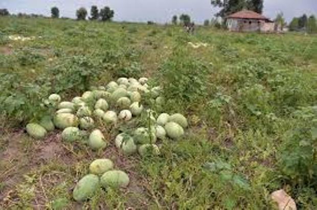 برداشت هندوانه در گنبدکاووس آغاز شد