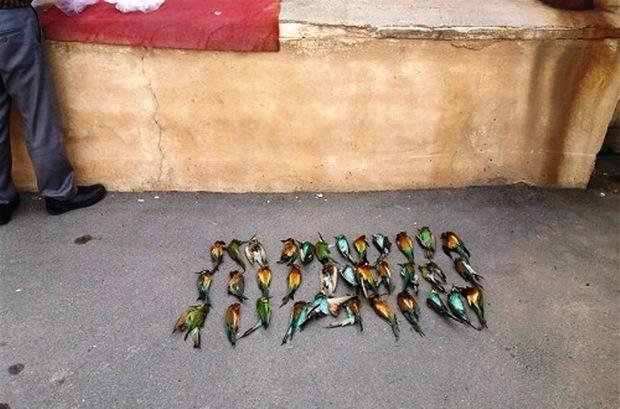 زنبوردار قروه ای 40  قطعه پرنده زنبورخوار را کُشت