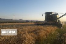 تولید گندم در میامی افزایش یافت