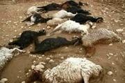 لاشه گوسفندان روستای داران جمع آوری شدند  مشکل آلودگی آب رفع شده است