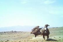 عقاب دریایی در پناهگاه حیا وحش یخاب تصویربرداری شد