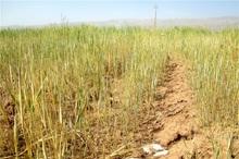 48درصد اراضی آبی کشاورزی خراسان شمالی تنش آبی دارد