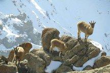 جمعیت کل و بز وحشی در البرز افزایش یافته است