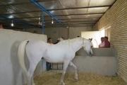 فعالان صنعت پرورش اسب در ابرکوه نیاز به حمایت دارند