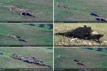 تصاویری از پلنگ ایرانی در استان های مرزی شمال غرب کشور