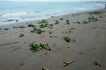 جمع آوری گیاه مهاجم سنبل آبی از سواحل رودسر