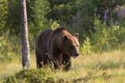 حمله خرس در گیلانغرب 50 راس گوسفند را تلف کرد