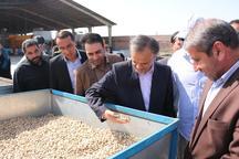 تولید 100 تا 150 هزار تن پسته در باغهای استان کرمان