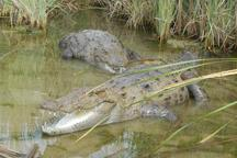 باران جان دوباره به زیستگاه تمساح پوزه کوتاه در سرباز بخشید