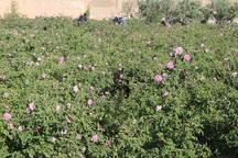 هزینه جشنواره گل محمدی میبد به سیل زدگان اختصاص یافت