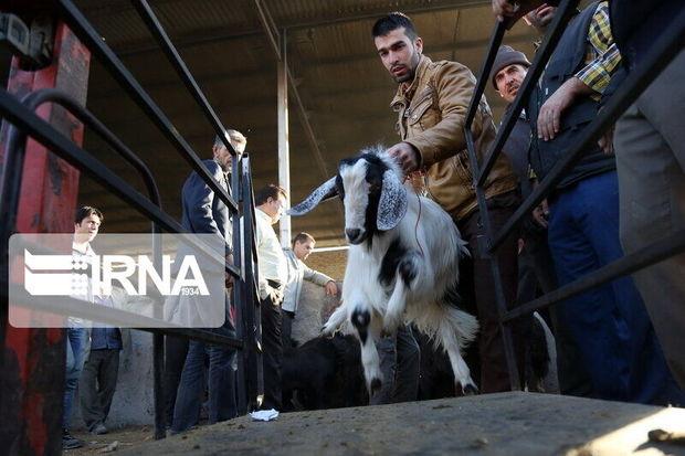 ۶ گروه دامپزشکی بر ذبح دام ویژه عید قربان در مهاباد نظارت میکنند