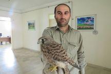 تحویل پرنده شکاری مصدوم به محیط زیست غرب گلستان