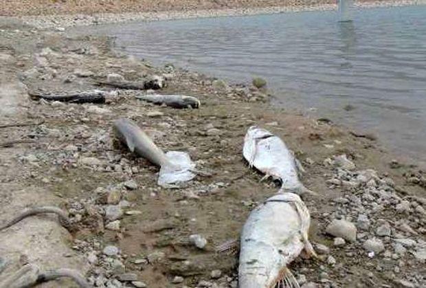 تلف شدن 3 هزار قطعه ماهی در سد خداآفرین